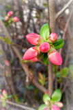 New red buds. On hedge Royalty Free Stock Images