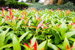 New Red Growth Leaves Royalty Free Stock Photo