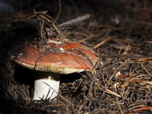 New Red Mushroom Royalty Free Stock Photography