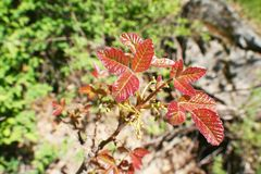New Red Poison Oak Leafs High Quality stock photo