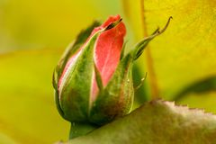 New red rose bud. Young graceful spray rose. A small bud of a blooming flower. Closeup of a rose bud in a garden. Natural backgrou. Nd stock photography