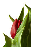 New Red Spring Tulip Bud Stock Photos