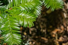 New redwood trees branches, California stock photos