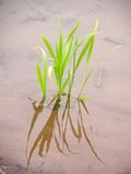 New rice plant. Extreme close up of a new rice plant in the spring rice field(in water Stock Photos