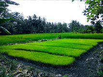 New rice planted in rice fields. Looks green and cool Stock Photo