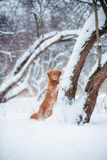 New Scotland Retriever stay near treeat snowing winter royalty free stock photos