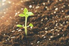 New seedling growing in fertile soil. Closeup royalty free stock image