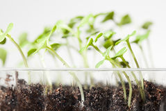 New seedlings in plastic pot Royalty Free Stock Images