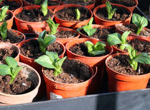 New seedlings in pots. Pots containing new broad bean seedlings in the Spring ready for planting out Royalty Free Stock Images