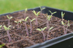 New seedlings ready for the spring garden. Tomato seedlings in the sun preparing for the spring garden. Set in a seed starting tray stock images