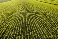 New seedlings of wheat. A meadow perspective line of sprouts Royalty Free Stock Image