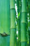 New shoot of bamboo. With water drops Stock Photos