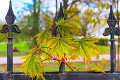 New shoot maple spring Royalty Free Stock Photo