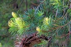 New shoots of a Hairpin Banksia Stock Photos