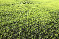 New shoots of a winter wheat Stock Photo