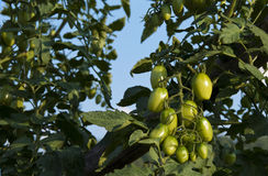 New Small Green Tomatoes Against Blue Sky Stock Image