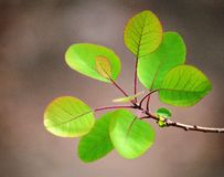 New fresh smoke tree leaves in spring. New smoke tree leaves with fresh green color in spring royalty free stock photos