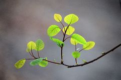 New smoke tree leaves in spring. New smoke tree leaves with fresh green color in spring royalty free stock photos