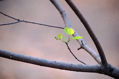 New smoke tree leaves in spring. New smoke tree leaves with fresh green color in spring stock photo