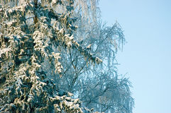 New snow on fir tree branches, early winter morning, blue sky Stock Photos