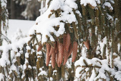 New snow on the pine tree cones Stock Images