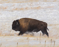 New Snow On The Prairie. Bull buffalo running on the snow covered prairie Stock Images
