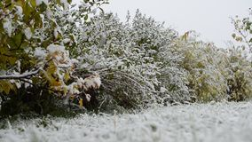 New snow on redcurrant bush in late arctic circle autumn
