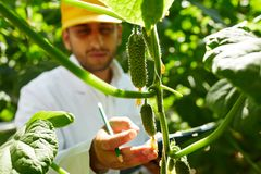 New sort of cucumber. Agroengineer touching small cucumbers hanging on branches in hothouse Royalty Free Stock Photography
