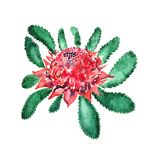 New South Wales waratah Telopea speciosissima pink flowers and leaves. New South Wales waratah Telopea flower with leaves hand painted watercolor illustration Stock Image