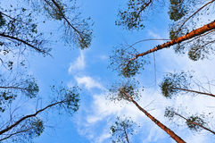 Views of eucalypts  tree for paper industry. New species plant, Eucalyptus in Thailand Stock Photo