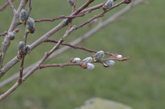New Spring Buds Stock Photography