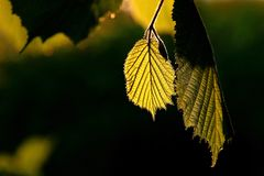 New spring golden leaf at sunrise. New fresh leaf in detail in the forest, spring season and amazing sunrise light Stock Photo