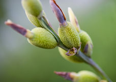 New Spring Growth, Tiny Buds royalty free stock photography