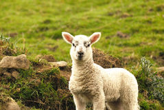 New Spring Lamb Royalty Free Stock Photo