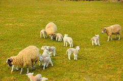 New Spring Lambs. With there mums Stock Image