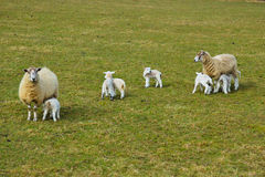 New Spring Lambs. With there mums Stock Photos
