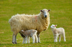 New Spring Lambs. With there mums Stock Images