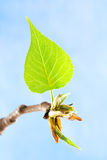 New spring leaf at blue sky. New spring green leaf at blue sky background Royalty Free Stock Photography