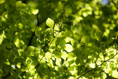 New spring leaves Royalty Free Stock Photography