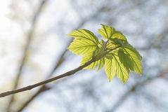 New spring maple leaves Royalty Free Stock Photography