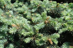 New spring needle-like leaves of blue spruce. New spring needle like leaves of blue spruce royalty free stock images