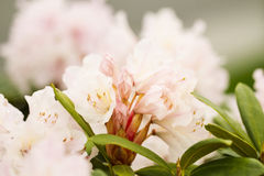 New Spring Rhododendron in pink Royalty Free Stock Photo