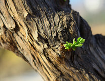 New sprout. A new spring sprout leaps from an old tree Stock Photos