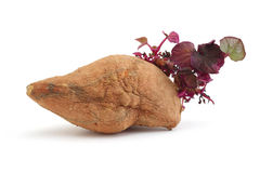 New Sprout from withered Yam Stock Photography