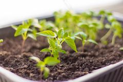 Seedlings, young Basil sprouts on green background royalty free stock photography