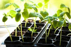 New Sprouts With Leaves From Earth. Cucumber Seedlings. Cultivation In Ground Indoors/Greenhouse. New Sprouts With Leaves From Earth Royalty Free Stock Images