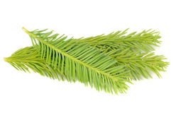 New Spruce Branches Isolated on White Background Stock Image