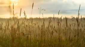 New start concept: vibrant summer sunrise through the tall grass with yellow, red highlights, blurred blue clouds and morning fog. In background Royalty Free Stock Photo