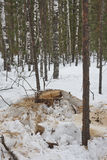 New stump in snow Royalty Free Stock Images