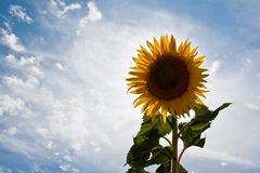 A new sun. A sunflower field during summer Royalty Free Stock Photos